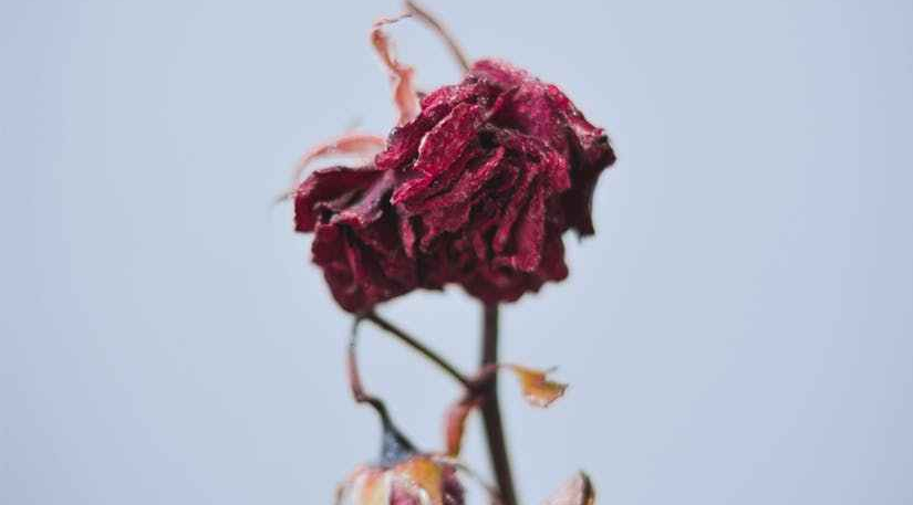 dried red flowers